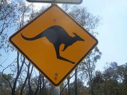 Dessin de kangourou. Source : http://data.abuledu.org/URI/47f55c0a-dessin-de-kangourou