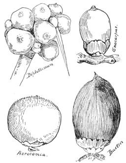 Dessins de datte. Source : http://data.abuledu.org/URI/50df1f80-dessins-de-datte