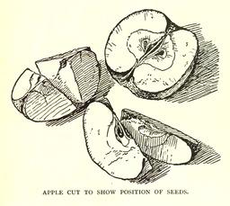 Dessins de pommes et pépins. Source : http://data.abuledu.org/URI/5654138a-dessins-de-pommes-et-pepins