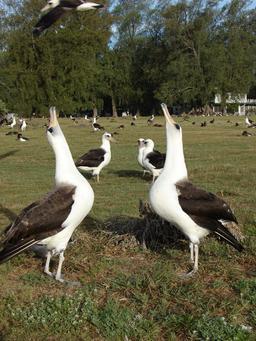 Deux albatros. Source : http://data.abuledu.org/URI/54e63654-deux-albatros