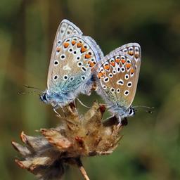 Deux azurés communs. Source : http://data.abuledu.org/URI/599211be-deux-azures-communs