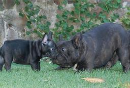 Deux bouledogues. Source : http://data.abuledu.org/URI/51612d70-deux-bouledogues