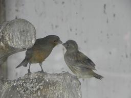 Deux canaris. Source : http://data.abuledu.org/URI/53f0de35-deux-canaris