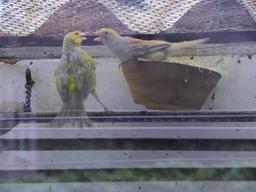 Deux canaris. Source : http://data.abuledu.org/URI/53f0deee-deux-canaris