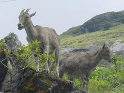 Deux chèvres d'Inde. Source : http://data.abuledu.org/URI/516c5103-deux-chevres-d-inde