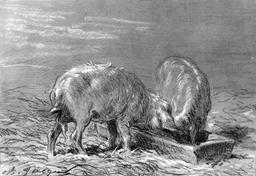 Deux cochons. Source : http://data.abuledu.org/URI/5150632f-deux-cochons