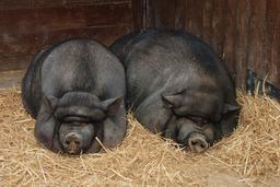 Deux cochons au repos. Source : http://data.abuledu.org/URI/51afb7d2-deux-cochons-au-repos