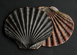 Deux coquilles Saint-Jacques. Source : http://data.abuledu.org/URI/54610d72-deux-coquilles-saint-jacques