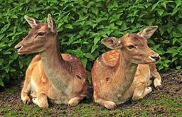 Deux daims accroupis. Source : http://data.abuledu.org/URI/564cd95e-deux-daims-accroupis