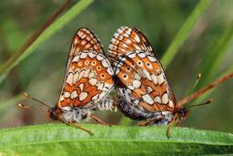 Deux damiers des marais. Source : http://data.abuledu.org/URI/599210f2-deux-damiers-des-marais
