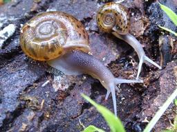 Deux escargots. Source : http://data.abuledu.org/URI/5342d4d7-deux-escargots