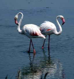 Deux flamants roses au Grau-du-Roi. Source : http://data.abuledu.org/URI/527792d0-deux-flamants-roses-au-grau-du-roi