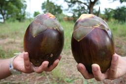 Deux fruits de borasse. Source : http://data.abuledu.org/URI/5489f198-deux-fruits-de-borasse