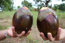 Deux fruits de borasse. Source : http://data.abuledu.org/URI/5489f198-deux-fruits-de-borasse