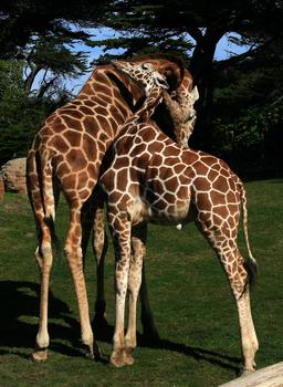 Deux girafes. Source : http://data.abuledu.org/URI/534db711-deux-girafes