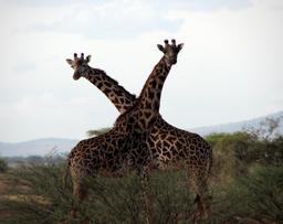 Deux girafes. Source : http://data.abuledu.org/URI/534db89b-deux-girafes
