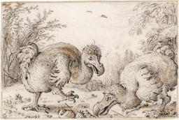 Deux jeunes Dodos. Source : http://data.abuledu.org/URI/573acbee-deux-jeunes-dodos