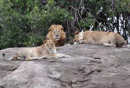 Deux lionnes et un lion. Source : http://data.abuledu.org/URI/528b5b91-deux-lionnes-et-un-lion