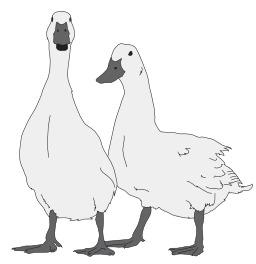 Deux oies blanches. Source : http://data.abuledu.org/URI/5049badd-deux-oies-blanches