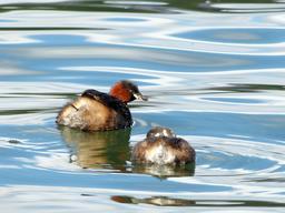 Deux oisillons de grèbe en quête de nourriture. Source : http://data.abuledu.org/URI/533c0ffb-deux-oisillons-de-grebe-en-quete-de-nourriture