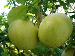 Deux pamplemousses. Source : http://data.abuledu.org/URI/53732622-deux-pamplemousses