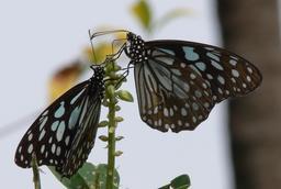 Deux papillons. Source : http://data.abuledu.org/URI/54129d64-deux-papillons