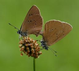 Deux papillons sur une fleur. Source : http://data.abuledu.org/URI/54129eff-deux-papillons-sur-une-fleur