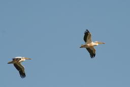 Deux pélicans bancs en vol. Source : http://data.abuledu.org/URI/52d56974-deux-pelicans-bancs-en-vol