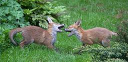 Deux renardeaux en train de jouer. Source : http://data.abuledu.org/URI/52dc4996-deux-renardeaux-en-train-de-jouer