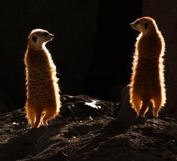 Deux suricates de nuit. Source : http://data.abuledu.org/URI/52d1b635-deux-suricates-de-nuit