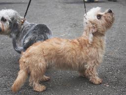 Deux Terriers Dandie Dinmont. Source : http://data.abuledu.org/URI/516a46a9-deux-terriers-dandie-dinmont