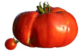 Deux tomates. Source : http://data.abuledu.org/URI/5382f323-deux-tomates