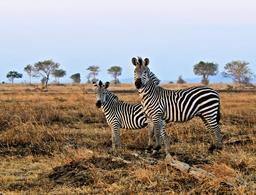 Deux zèbres en Tanzanie. Source : http://data.abuledu.org/URI/53600e80-deux-zebres-en-tanzanie
