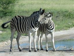 Deux zèbres namibiens. Source : http://data.abuledu.org/URI/58f3ca62-deux-zebres-namibiens