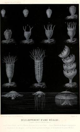 Développement d'une méduse en 1866. Source : http://data.abuledu.org/URI/59449373-developpement-d-une-meduse-en-1866