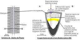 Diffusion de Rayleigh dans une plume. Source : http://data.abuledu.org/URI/50be5b3b-diffusion-de-rayleigh-dans-une-plume