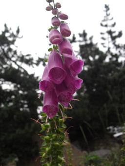 Digitale en fleurs. Source : http://data.abuledu.org/URI/505e2010-digitale-en-fleurs