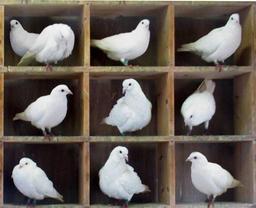 Dix pigeons. Source : http://data.abuledu.org/URI/536a9150-dix-pigeons