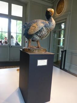 Dodo au muséum de La Rochelle. Source : http://data.abuledu.org/URI/5822033f-dodo-au-museum-de-la-rochelle