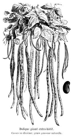 Dolique géant extra-hâtif. Source : http://data.abuledu.org/URI/5470ef30-dolique-geant-extra-hatif