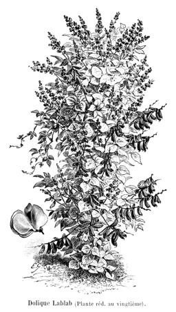 Dolique Lablab. Source : http://data.abuledu.org/URI/5470efb4-dolique-lablab
