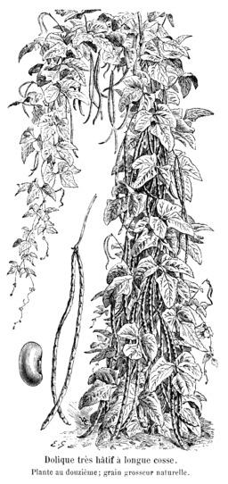 Dolique très hâtif à longue cosse. Source : http://data.abuledu.org/URI/5470f007-dolique-tres-hatif-a-longue-cosse