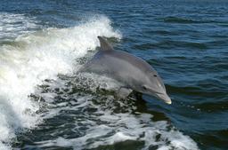 Dophin jouant dans la vague du bateau. Source : http://data.abuledu.org/URI/501b142f-dophin-jouant-dans-la-vague-du-bateau