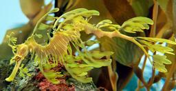Dragon de mer. Source : http://data.abuledu.org/URI/510fcb20-dragon-de-mer
