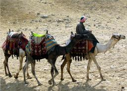 Dromadaires à Gizèh. Source : http://data.abuledu.org/URI/54d22309-dromadaires-a-gizeh