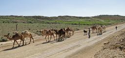 Dromadaires dans la réserve de Dana en Jordanie. Source : http://data.abuledu.org/URI/54d25548-dromadaires-dans-la-reserve-de-dana-en-jordanie
