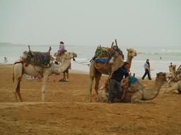 Dromadaires sur la plage d'Essaouira au Maroc. Source : http://data.abuledu.org/URI/54d255fb-dromadaires-sur-la-plage-d-essaouira-au-maroc