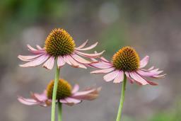 Echinacea purpurea à Munich. Source : http://data.abuledu.org/URI/54cbf893-echinacea-purpurea-jard-n-bot-nico-m-nich-alemania-2013-09-08-dd-01-jpg