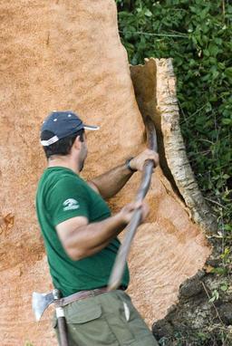 Écorçage du chêne-liège. Source : http://data.abuledu.org/URI/51bc8284-ecorcage-du-chene-liege
