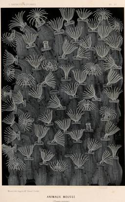 Ectoprocta ou animaux mousse en 1866. Source : http://data.abuledu.org/URI/594525d0-ectoprocta-ou-animaux-mousse-en-1866